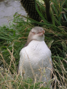 Yellow eyed pinguin, Otago Peninsula